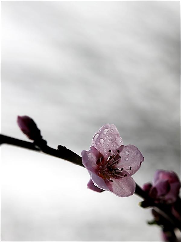 Klicke auf die Grafik für eine größere Ansicht  Name:FB_Pfirsichblüte.jpg Hits:46 Größe:153,1 KB ID:86007