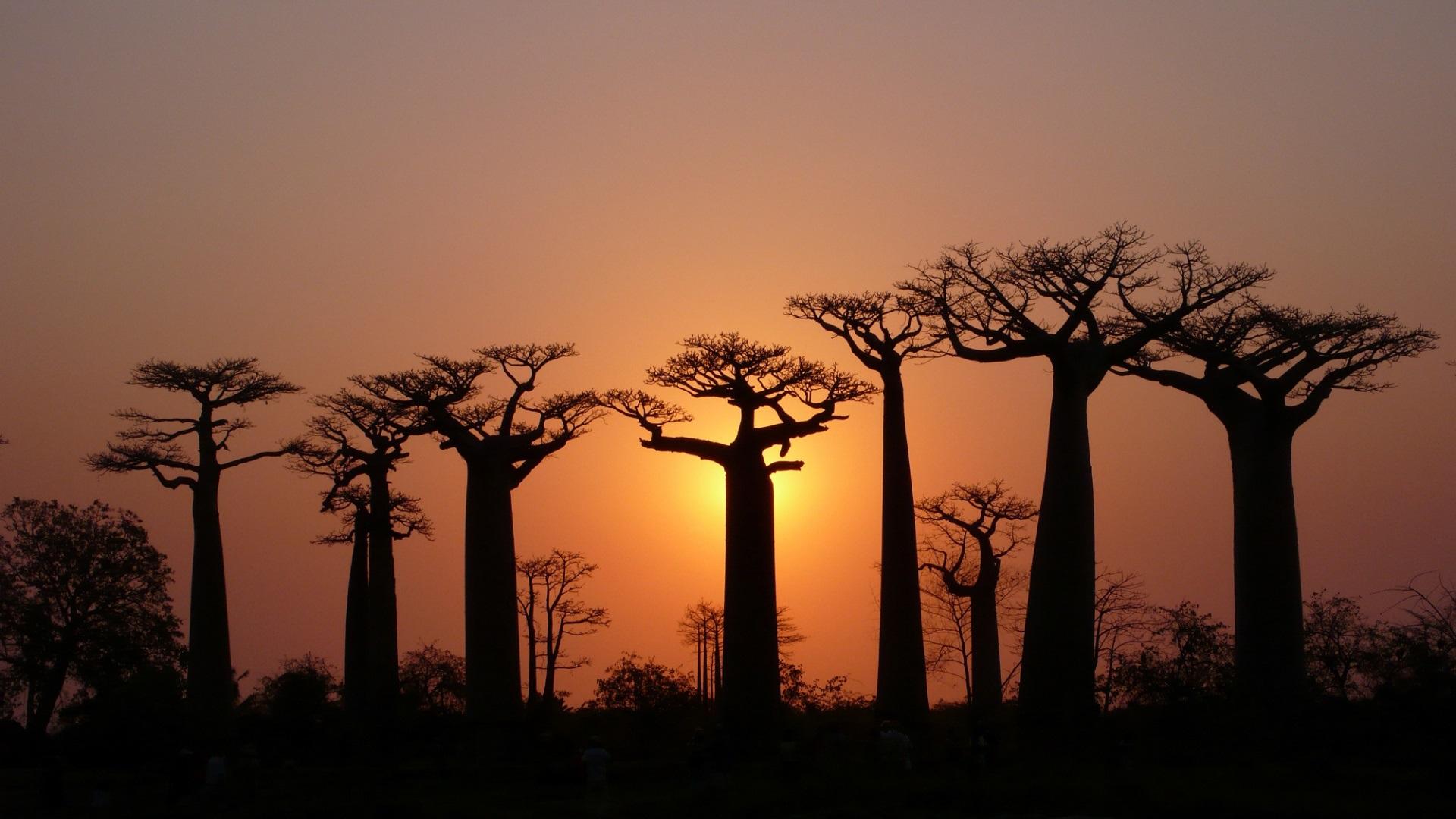 Klicke auf die Grafik für eine größere Ansicht  Name:Trees-baobabs-sky-light-dusk_1920x1080.jpg Hits:373 Größe:433,1 KB ID:78707